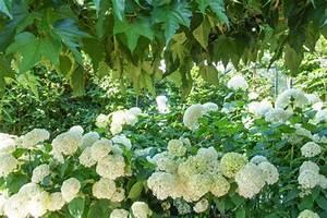 Welche Pflanzen Passen Gut Zu Hortensien : hortensien das passt dazu mein sch ner garten ~ Heinz-duthel.com Haus und Dekorationen
