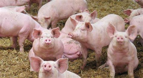 chambre du commerce international elevage de porcs un marché juteux ecodufaso