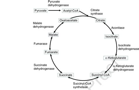Enzymatic Cycle Diagram by Enzymes For The Tca Cycle The Detailed Reaction Equation