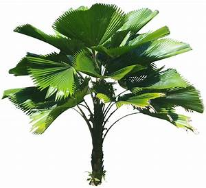 Tropical Plant Pictures: Licuala grandis (Ruffled fan palm)