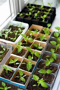 Green Pepper Seedlings | www.pixshark.com - Images ...