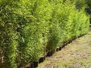 Cacher Vis A Vis Jardin : cacher vis a vis jardin 5 bambouseraie landes vente de ~ Dailycaller-alerts.com Idées de Décoration