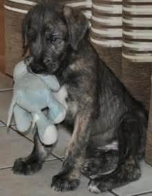 Cute Irish Wolfhound Puppy