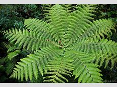 National Tree Of New Zealand Silver Fern 123Countriescom