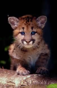 Baby Cougar Cub