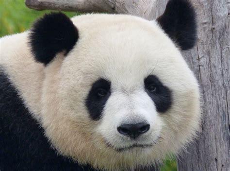 cuisiner la patate douce le panda géant n 39 est plus une espèce en danger