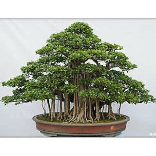 Seeds-Beautiful Banyan Bonsai Tree Indian Strangler Fig
