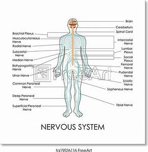 Free Art Print Of Nervous System  Vector Illustration Of