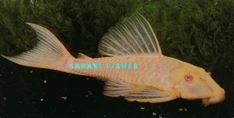 albino white red eyes black sucker fish  variety