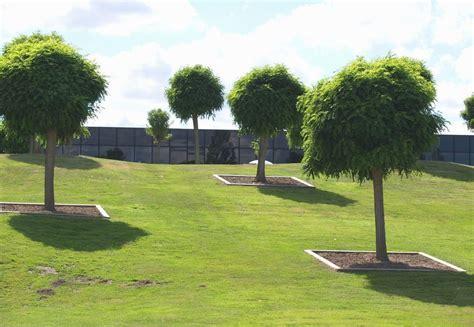 Baeume Im Garten Zierde Und Schattenspender by Kugelrobinie Pflanzen Kugelakazie Im Garten Oder K 252 Bel