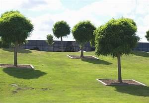 Baum Kleiner Garten : kugelrobinie pflanzen kugelakazie im garten oder k bel ~ Orissabook.com Haus und Dekorationen