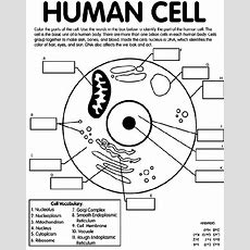 Human Cell Coloring Page Crayolacom