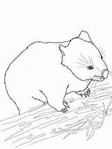 Wombat Coloring Drawing Printable Stew Pages Printables Supercoloring Wound Own sketch template