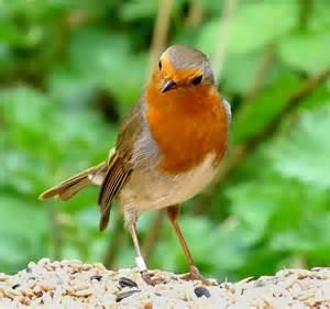Beautiful Robin Bird