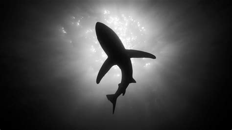 Black And White Animal Wallpaper - hd sharks wallpapers and photos hd animals wallpapers