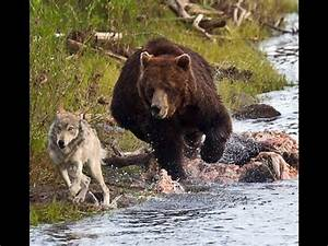 Documentary National Geographic - Grizzly Bear Vs Wolf ...  Grizzly