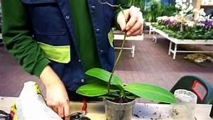 Orchideen Umtopfen Video : orchideen umtopfen und pflegen youtube ~ Watch28wear.com Haus und Dekorationen