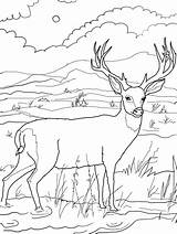 Deer Coloring Template Animal Templates sketch template