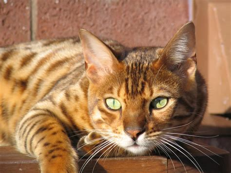 Bengal Cat One Of The World's Most Expensive Cat