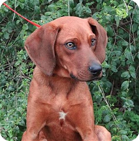 Do Redbone Coonhounds Shed by Vizsla And American Staffordshire Terrier Mix Breeds