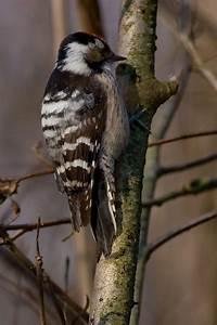 Lesser spotted woodpecker - Wikipedia  Lesser