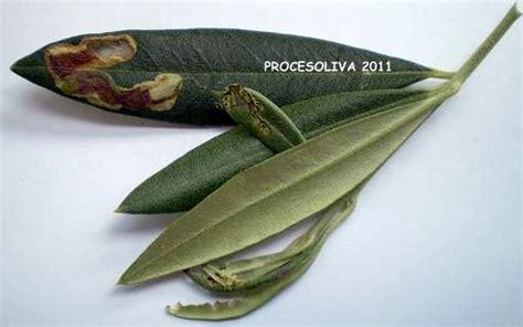 http://procesoliva.blogspot.com/2011/08/prays-del-olivo-prays-oleae.html