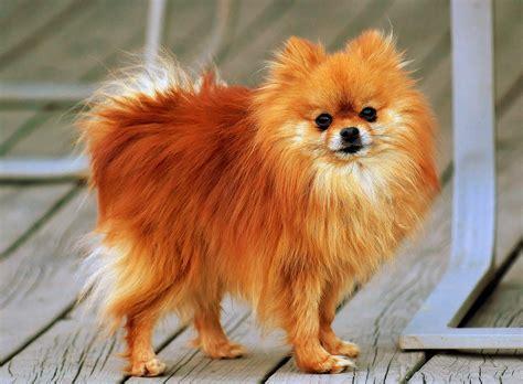 File Ee  Pomeranian Ee   Orange Sable Coco Jpg