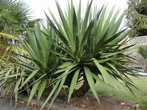 Yucca Palme Garten : yucca palme 26 fantastische bilder zur inspiration ~ Lizthompson.info Haus und Dekorationen