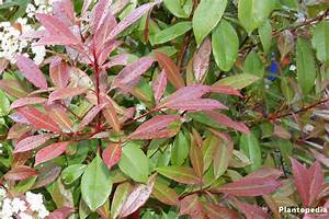 Photinia Red Robin : glanzmispel photinia fraseri red robin pflege ~ Michelbontemps.com Haus und Dekorationen