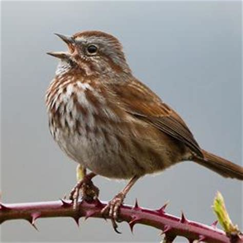 show me a picture of a sparrow birds of the briar patch birdnote