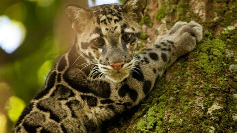Clouded Leopard  National Geographic Channel Asia