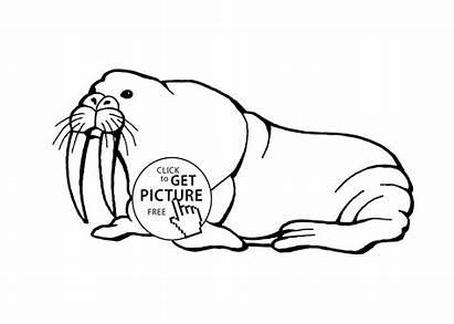 Coloring Walrus Sea Animals Pages Printable