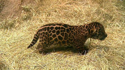 San Diego Zoo Says New Baby Jaguar Is Boy