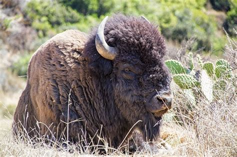 photo bison buffalo animal wildlife  image