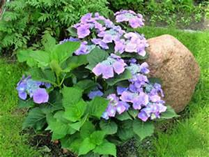 Hortensien überwintern Im Garten : tellerhortensie sorten pflege schneiden berwintern ~ Frokenaadalensverden.com Haus und Dekorationen