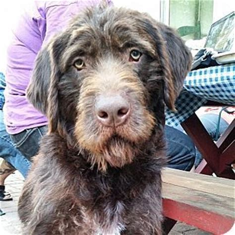 german wirehaired pointerschnauzer giant mix dog