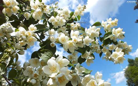 Sky Flower Jasmine For Desktop Wallpapers 2560x1600
