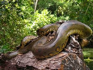 Anaconda Snakes information | Animals Blog