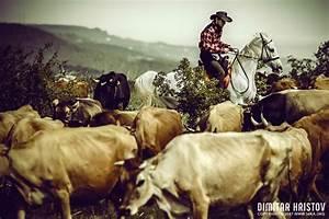 Cowboy On Cattle Round