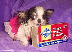 Boo Boo, the smallest dog in the world | Daily Mail Online