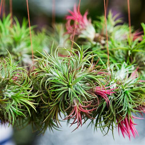 how to grow tillandsia hanging around