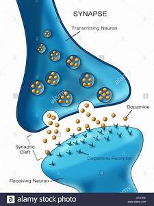 Labeled Illustration Depicting Normal Neuron Synapse Activity Stock Photo  103992486