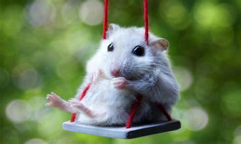 consejos clave  saber como cuidar   hamster wakyma