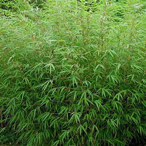 bambou non traçant pour haie la plantation du bambou