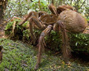 World's largest spider spotted in Guyana's rainforest ...