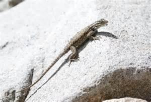 Arizona Lizards Identification