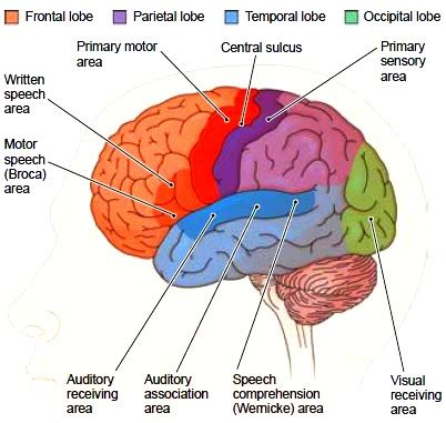 Cerebral Cortex Functional Areas of the Left