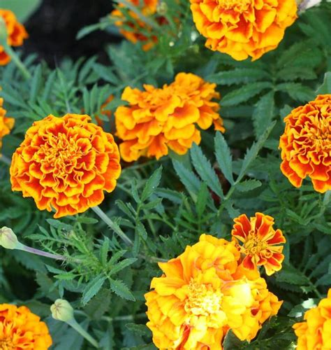do marigolds keep bugs away top 10 bug repelling flowers that keep pests out of your garden page 2 of 10 top inspired