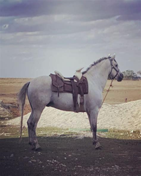 horse andalusian horses draft