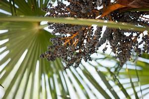 Schmucklilie überwintern Gelbe Blätter : hanfpalme pflanzen pflegen gie en und mehr ~ Eleganceandgraceweddings.com Haus und Dekorationen